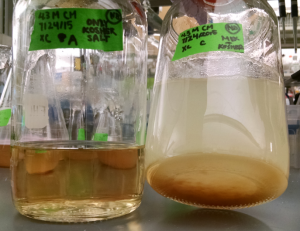 On the left is the kosher salt media (which looks physically identical to the original media). On the right is the milk powder media after coming out of the autoclave.