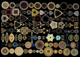 many diatoms